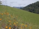 Poppy-studded hillside - Sunol